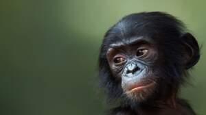 Quiz spécial grands singes
