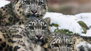 Testez vos connaissances sur le léopard des neiges