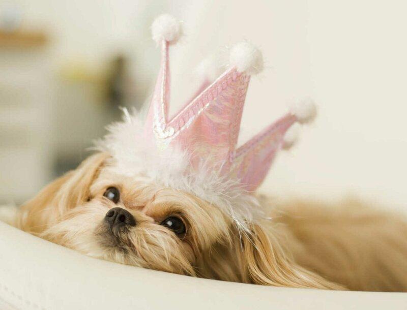 Que savez-vous sur les chiens du gotha ?
