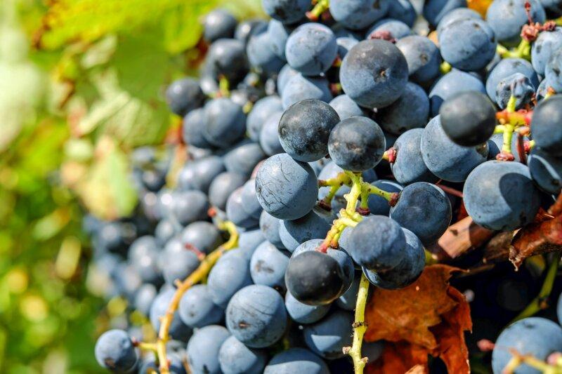 Lequel de ces cépages est cultivé en Alsace, Bourgogne, Champagne ... ?